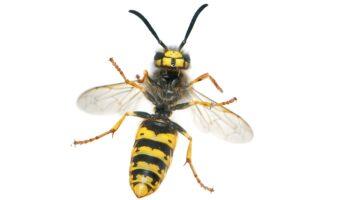 wat doe je tegen een wespensteek